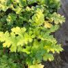 Acanthus mollis - mezzo-sole - 36 - 20 - convallaria-geranium-liriope-ophiopogon-pachysandra