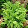 Athyrium filix - mezzo-sole - 36 - 18 - epimedium-erythronium-hepatica-hosta-e-con-piante-da-sottobosco-ed-altre-felci