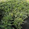Aucuba japonica Crotonifolia - mezzo-sole - 36 - 24 - hosta-sarcococca-hellebori-ruscus-pachisandra