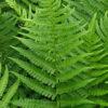 Dryopteris affinis - mezzo-sole - 36 - 18 - epimedium-erythronium-hepatica-hosta-e-con-piante-da-sottobosco-ed-altre-felci