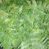 Dryopteris erytrosora - mezzo-sole - 36 - 18 - epimedium-erythronium-hepatica-hosta-e-con-piante-da-sottobosco-ed-altre-felci