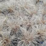 Carex Bronz Form - mezzo-sole - 36 - 14 - aster-boltonia-eupatorium-monarda-heliopsis-rudbeckia-sedum-veronica