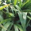 Iris japonica - mezzo-sole - 36 - 9 - acanthus-bergenia-brunnera-helenium-hemerocallis-tradescantia-ottima-come-coprisuolo-in-purezza-come-riempitivo-in-pareti-verticali