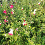Salvia Hot Lips bianco-rossa - sole - 36 - 14 - agapanthus-convolvolus-crocosmia-lavanda-lepechinia-rabdosia-rhodanthemum-tulbaghia