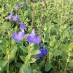 Salvia microp. Blue - sole - 36 - 14 - agapanthus-convolvolus-crocosmia-lavanda-lepechinia-rabdosia-rhodanthemum-tulbaghia