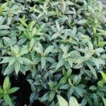 Sarcococca humilis - ombra - 36 - 15 - aucuba-helleborus-epimedium-hosta-mughetti-pachisandra
