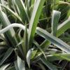 Iris japonica varigata - mezzo-sole - 36 - 18 - acanthus-bergenia-brunnera-helenium-hemerocallis-tradescantia-ottima-come-coprisuolo-in-purezza-come-riempitivo-in-pareti-verticali