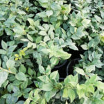 Sarcococca ruscifolia - ombra - 36 - 15 - aucuba-helleborus-epimedium-hosta-mughetti-pachisandra