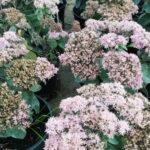 Sedum Spectabile - sole - 36 - 15 - artemisia-lychnis-nepeta-rosmarinum-stachys-verbena
