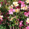 Rosa chinensis Mutabilis - sole - 36 - 18 - rapida-crescita-e-dal-forte-sviluppo