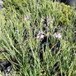 Tulbaghia violacea - sole - 36 - 15 - alstroemeria-artemisia-lychnis-nepeta-rosmarinum-stachys