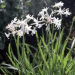 Tulbaghia violacea Alba - sole - 36 - 15 - alstroemeria-artemisia-lychnis-nepeta-rosmarinum-stachys