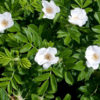 Rosa rugosa Alba - sole - 36 - 18 - coprisuolo-per-eccellenza-resistente-alle-malattie-fungine-e-ai-pi%c2%9d-comuni-parassiti