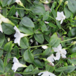 Vinca minor Alba - mezzo-sole - 36 - 9 - ajuga-convallaria-felci-lamium-waldesteinia-graminacee