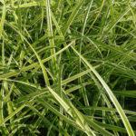 Carex Morrwii Ice Dance - mezzo-sole - 36 - 7 - aster-boltonia-eupatorium-monarda-heliopsis-rudbeckia-sedum-veronica