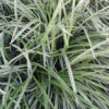 Liriope spicata Silver Dragon - mezzo-sole - 36 - 15 - hosta-mitella-tiarella-waldsteinia