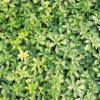Pachisandra terminalis - ombra - 36 - 9 - astilbe-felci-geranium-in-purezza-per-avere-tappeti-compatti-e-uniformi