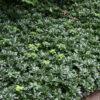 Pachisandra terminalis Green Scheen - mezzo-sole - 36 - 9 - astilbe-felci-geranium-in-purezza-per-avere-tappeti-compatti-e-uniformi