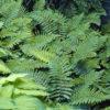 Polisticum polibleferum - ombra - 36 - 18 - epimedium-erythronium-hepatica-hosta