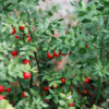 Ruscs aculeatus - ombra - 36 - 18 - epimedium-erythronium-hepatica-hosta-e-con-piante-da-sottobosco-ed-altre-felci-hellebori-aucuba