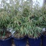 Fargesia rufa - pieno-sole - 36 - 24 - in-purezzagraminacee-verbena-rudbeckia