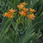 Belamcanda chinensis arancione - sole - 36 - 18 - iris-agapanthus-lirope-tulbaghia-graminacee-echinacea