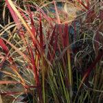 Imperata cilindrica Red Baron - pieno-sole - 36 - 15 - anemone-astilbe-begonia-evans-felci-hosta-persicaria