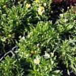 Chrysanthemum maximum Nanum - sole - 36 - 14 - aster-graminacee-helenium-sedum-solidago