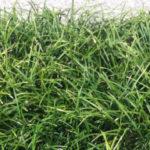 Convallaria japonica Nana - ombra - 36 - pl32f - narcisi-crocus-liriope-hoste-hellebori-epimedium
