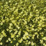 Coreopsis verticillata Moonbeen - sole - 36 - 8 - aster-delphinium-gaillardia-gaura-phlox-pan-salvia-scabiosa