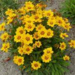 Coreosis grand. Sundail - sole - 36 - 14 - chrysanthemum-leuc-delphinium-helenium-phlox-pan-rudbeckia
