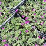 Delosperma cooperii - sole - 36 - 14 - campanula-variet%c2%88-bassa-festuca-glauca-linum-sedum-sempervivum