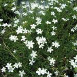 Dianthus deltoides bianco - sole - 36 - 14 - arabis-campanula-dryas-iberis-sedum-thymus-veronica