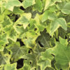 Dianthus Kaori rosa - sole - 36 - 14 - arabis-campanula-dryas-iberis-sedum-thymus-veronica