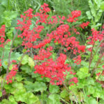 Heuchera sanguinea - mezzo-sole - 36 - 15 - alchemilla-anemone-campanula-felci-graminacee-primula-pulmonaria-saxifraga-viola