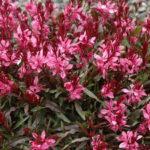 Gaura lindeheimerii Rosea scuro nana - sole - 36 - 14 - astilbe-campanula-variet%c2%88-alte-helenium-phlomis-scabiosa