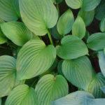 Hosta Obscura - mezzo-sole - 36 - 18 - anemone-astilbe-convallaria-felci-ophiopogon-persicaria