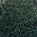 Liriope muscari majestic - mezzo-sole - 36 - 9 - hosta-mitella-tiarella-waldsteiniahosta-bergenialiriopeophyopogon