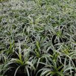Liriope muscari Variegata - mezzo-sole - 36 - 18 - hosta-mitella-tiarella-waldsteiniahosta-bergenialiriopeophyopogon