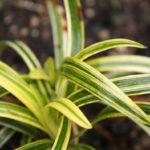 Liriope  muscari Gold Banded - mezzo-sole - 36 - 14 - hosta-mitella-tiarella-waldsteiniahosta-bergenialiriope-ophyopogon