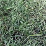 Liriope spicata / graminifolia - mezzo-sole - 36 - 9 - hosta-mitella-tiarella-waldsteiniahosta-bergenia-liriope-ophyopogon
