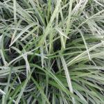 Liriope Spicata Silver Dragon - mezzo-sole - 36 - 9 - hosta-mitella-tiarella-waldsteiniahosta-bergenialiriope-ophypogon