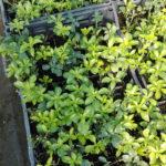 Pachisandra terminalis Green - ombra - 36 - 9 - astilbe-felci-geranium-sarcoccocca-pachisandra-hosta-hellebori-epimedium