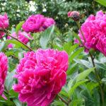 Peonia sinensis  erbacea rosa/bianco/rosso - mezzo-sole - 36 - 15 - hemrocallis-agapanthus-liriope-arbusti-nani-coreopsis