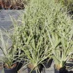 Phormium tenax Variegta - sole - 36 - 18 - hemerocallis-pittosporo-rosmarino-coreopsisagapanthus