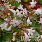 Abelia  grandiflora - mezzo-sole - 36 - 18 - piante-da-siepe-arbusti-di-media-grandezza-in-siepi-a-forma-libera