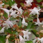 Abelia  grandiflora Compatta - mezzo-sole - 36 - 24 - arbusti-piccoli-e-medi-da-fiore-in-fioriere-e-giardini-forsythia-rose-berberis-hypericum-e-perenni-di-media-grandezza-sia-spoglianti-che-non