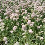 Allium senescens - pieno-sole - 36 - 14 - armeria-campanula-variet%c2%88-nane-thymus-veronica-incana