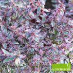 Abelia  grandiflora Confetti - mezzo-sole - 36 - 18 - arbusti-piccoli-e-medi-da-fiore-in-fioriere-e-giardini-forsythia-rose-berberishypericum-e-perenni-di-media-grandezza-sia-spoglianti-che-non