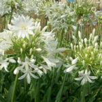 Agapanthus umbellatus - pieno-sole - 36 - 18 - chrysanthemum-max-coreopsis-diascia-hemerocallis-sedumtradescantia